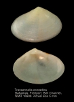 Transennella conradina