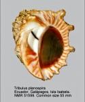 Tribulus planospira