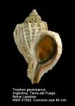 Trophon geversianus