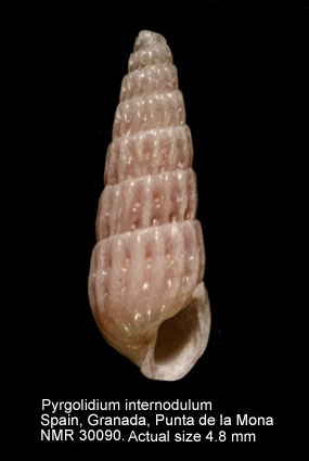 Pyrgolidium internodulum