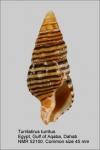 Turrilatirus turritus