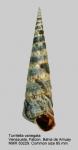 Turritella variegata