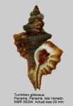Turritriton gibbosus