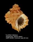 Ranellidae