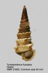 Tympanotonos fuscatus