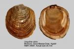 Ungulinidae