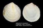 Vasticardium angulatum