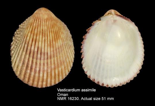 Vasticardium assimile