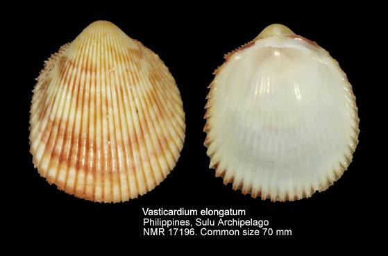Vasticardium elongatum elongatum
