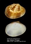 Venerupis philippinarum