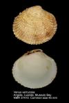 Venus verrucosa