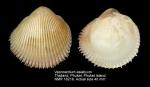 Vepricardium asiaticum