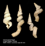 Turritellidae