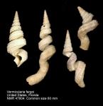 Vermicularia fargoi