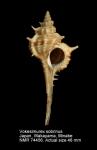 Vokesimurex sobrinus