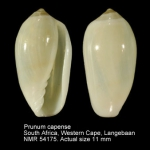 Volvarina capensis