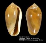 Marginellidae