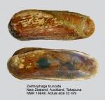 Zelithophaga truncata
