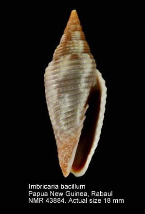 Imbricaria bacillum