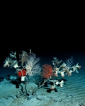 Black coral diversity