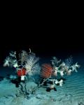 Black coral diversity