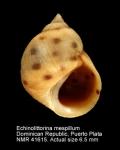 Echinolittorina mespillum