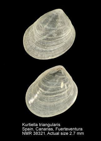 Kurtiella triangularis