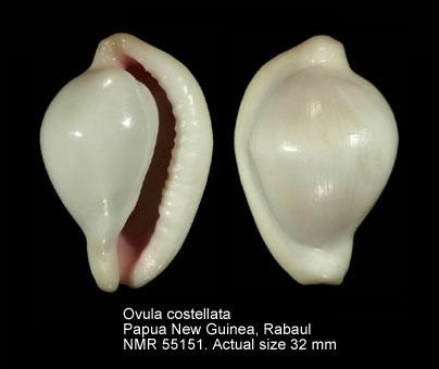 Ovula costellata