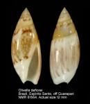 Olivella defiorei