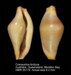 Ovulidae