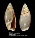 Olivella japonica