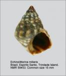 Echinolittorina miliaris