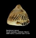 Bembicium nanum