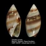 Olivella zonalis