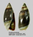 Olivella semistriata