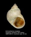 Echinolittorina modesta