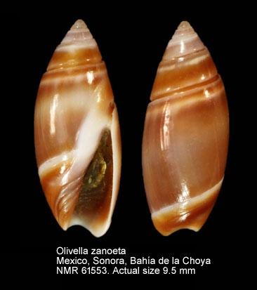 Olivella zanoeta