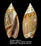 Olivella anazora