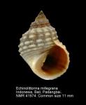 Echinolittorina millegrana