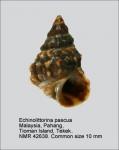 Echinolittorina pascua