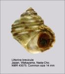 Littorina brevicula