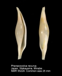 Phenacovolva recurva