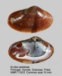 Ervilia castanea