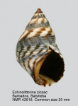 Echinolittorina ziczac