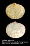Semele zebuensis