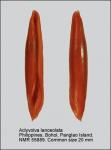 Aclyvolva lanceolata