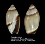 Olivella mutica