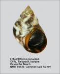 Echinolittorina peruviana