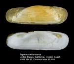 Solecurtidae
