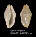 Cyphoma emarginatum